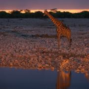 Wasserstelle Giraffe Namibia