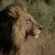 Namibia, Löwe